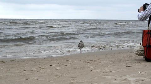 seagull gull bird baby walk coastal sea sand and waves Footage