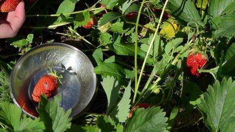 woman gather pick ripe red strawberries put metallic glossy dish Footage