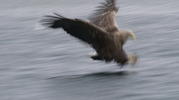 White-tailed Eagle (Haliaeetus albicilla) catching fish Footage