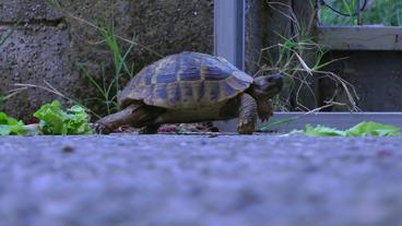 Tortoise Slowly Walks stock footage