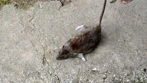 hand put dead big rat lying on concrete cellar basement stair Footage