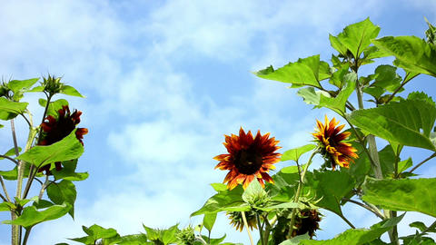 decorative colorful sunflower blue cloudy sky Footage