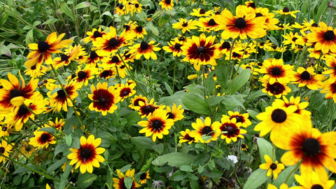 walk near beautiful rudbeckia flowers blooms in garden Footage