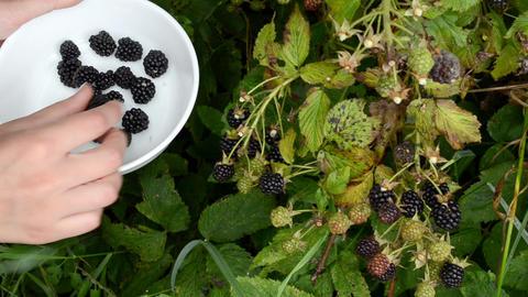 woman hand pick gather ripe blackberry rubus plant bush dish Footage