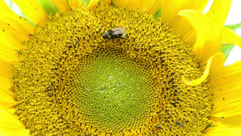 macro sunflower bloom and bumblebee bee collect pollen Footage