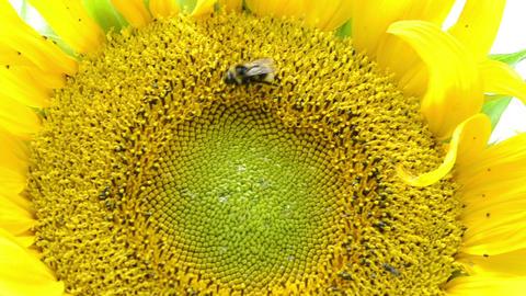 macro sunflower bloom and bumblebee bee collect pollen Footage