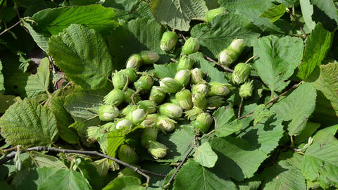 hand gather ripe hazel nuts Footage