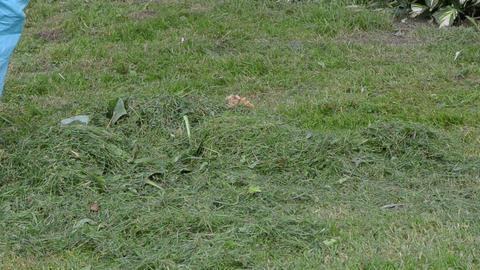 woman blue pant rake freshly cut mow grass lawn red raker Footage