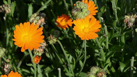 close orange marigold calendula herb bloom. alternative medicine Footage