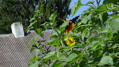 sunflowers grow in rural garden and old building roof Footage