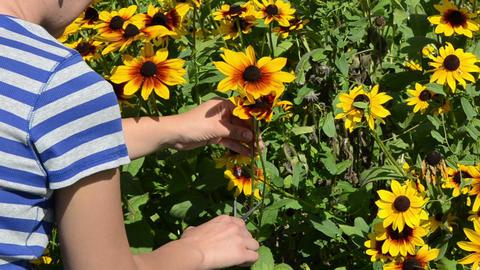 woman hands cut pick rudbeckia flower scissors clipper garden Footage