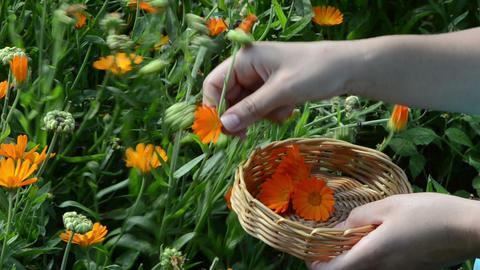 hand pick gather marigold calendula herb bloom wooden wicker Footage