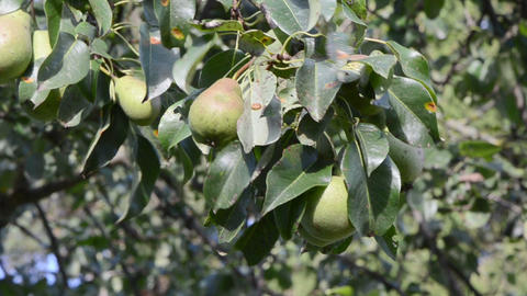 closeup pear tree branch fruits move wind Footage