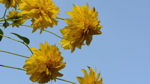 closeup yellow beautiful flowers move wind background blue sky Footage