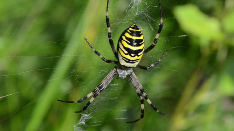 wasp spider argiope bruennichi spiderweb web move wind Footage