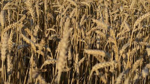 closeup ripe agriculture wheat ear field move wind autumn Footage
