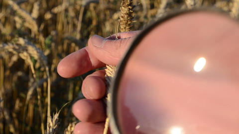 man hand magnify glass tool closeup examine wheat ear class Footage
