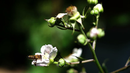 Blackberry Bush Blossoms With Bee Footage