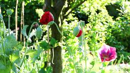 Poppy Bud Blossom.Opium Poppy (Papaver Somniferum) Blooming In The Garden Footage
