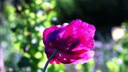 Phantasmal Pink Opium Poppy (Papaver Somniferum) Blooming In The Garden Footage