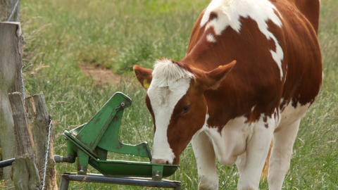 cow drinking at trough 4k UHD 11653 Footage