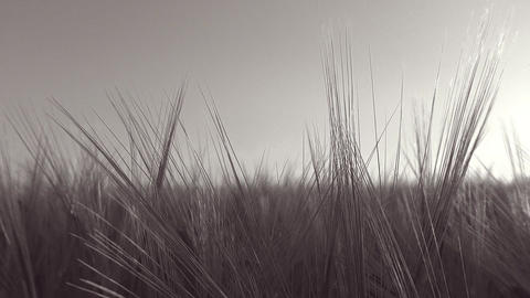 Panoramic move in a wheat field with a sunbeam through wheat ears - B + W Footage