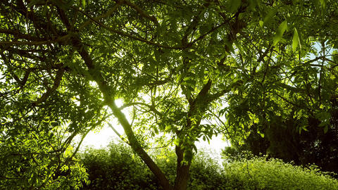 Timelapse of a sunset behind a tree - evening sun filtering through leaves Footage