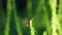 Bug With Long Antennae And The Flower Of Spinach Footage