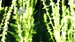 Cabbage Butterfly(Pieris Brassicae) Or Cabbage White And The Flower Of Spinach Footage