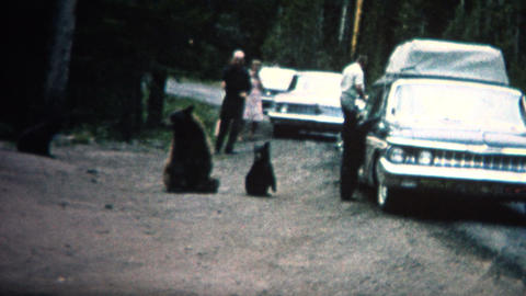 (8mm Vintage) 1968 People Feeding Bears Roadside in Yellowstone Park Footage