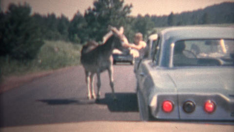 (8mm Vintage) 1966 Child Petting Random Mule From Car Window, Black Hills, USA stock footage