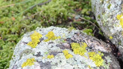 fire belly fire-bellied toad bombina red belly walk stone moss Footage