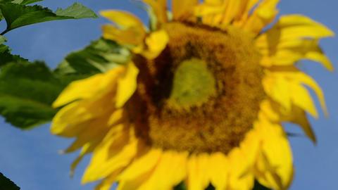 closeup focus change sunflower head move wind blue sky Footage