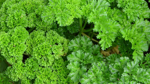 curly parsley natural spice closeup move wind grow garden Footage