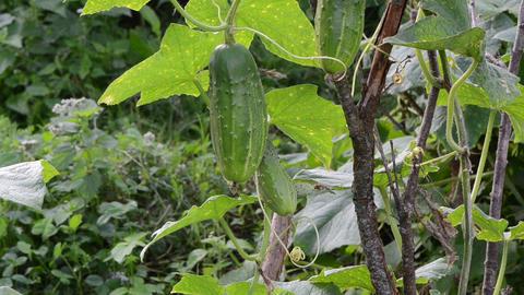 closeup green natural cucumber vegetable fruit move wind garden Footage