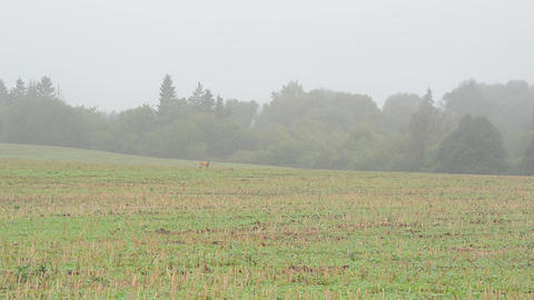 wild roe hind mammal animal run harvested agricultural field fog Footage