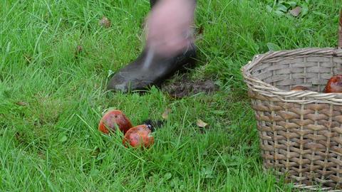 hand take orange red cap boletus mushrooms wicker basket grass Footage