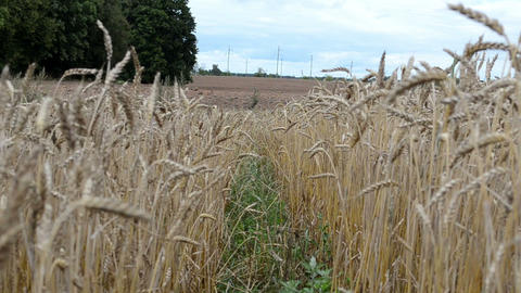 ripe wheat ears move wind plowed agricultural field soil tree Footage