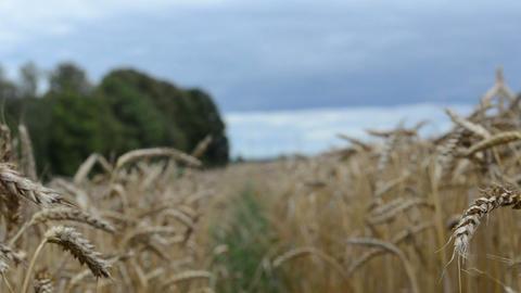 walk imitation ripe wheat agriculture plant ears field Footage