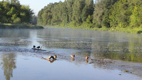 duck swim misty fogy flowing river water bay morning sunrise Footage
