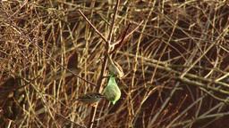 4K Eurasian Tree Sparrow Passer Montanus Eating from Birdfeeder in the Winter 2 Animation