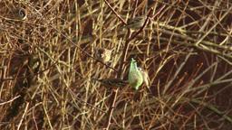4K Eurasian Tree Sparrow Passer Montanus Eating from Birdfeeder in the Winter 4 Animation