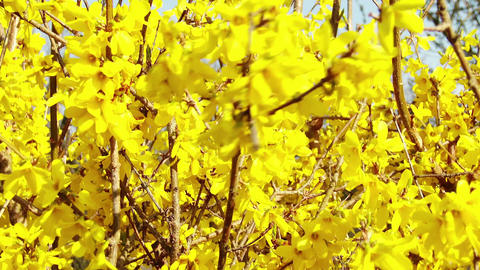 4K Forsythia in Yellow Spring Flowers 1 Animation