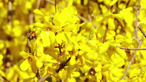 4K Forsythia in Yellow Spring Flowers 2, Stock Animation