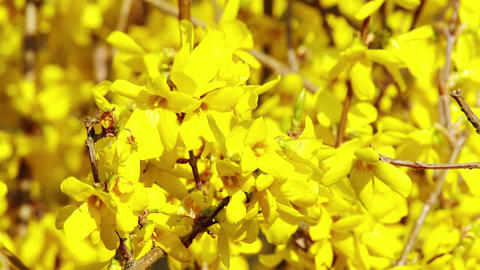 4K Forsythia in Yellow Spring Flowers 2 Animation