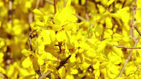 4K Forsythia in Yellow Spring Flowers 2 Stock Video Footage