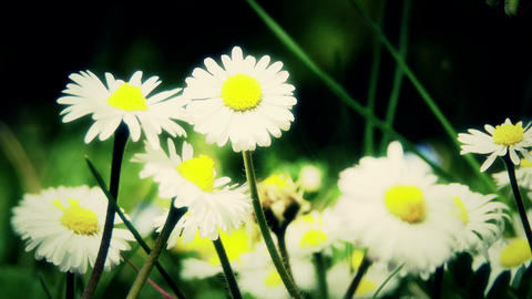 4K Oxeye Daisy Leucanthemum Vulgare in Spring 6 closeup stylized Footage