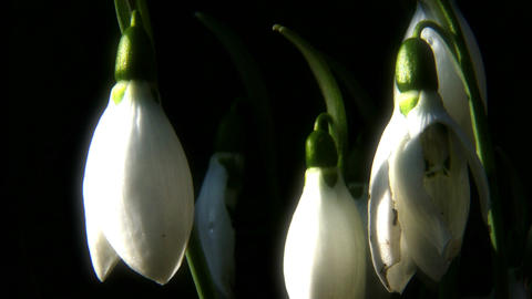 4K Snowdrop Galanthus in a Winter Day 8 closeup macro Footage