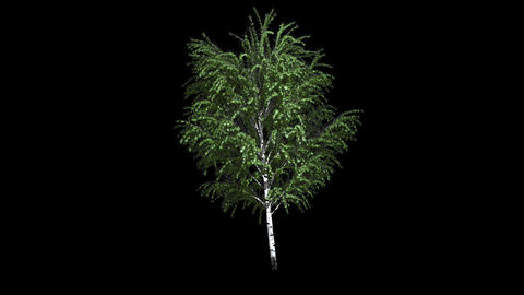 European White Birch On The Wind Isolated 1 Animation