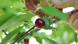 Cherries Picked Directly From The Tree Footage